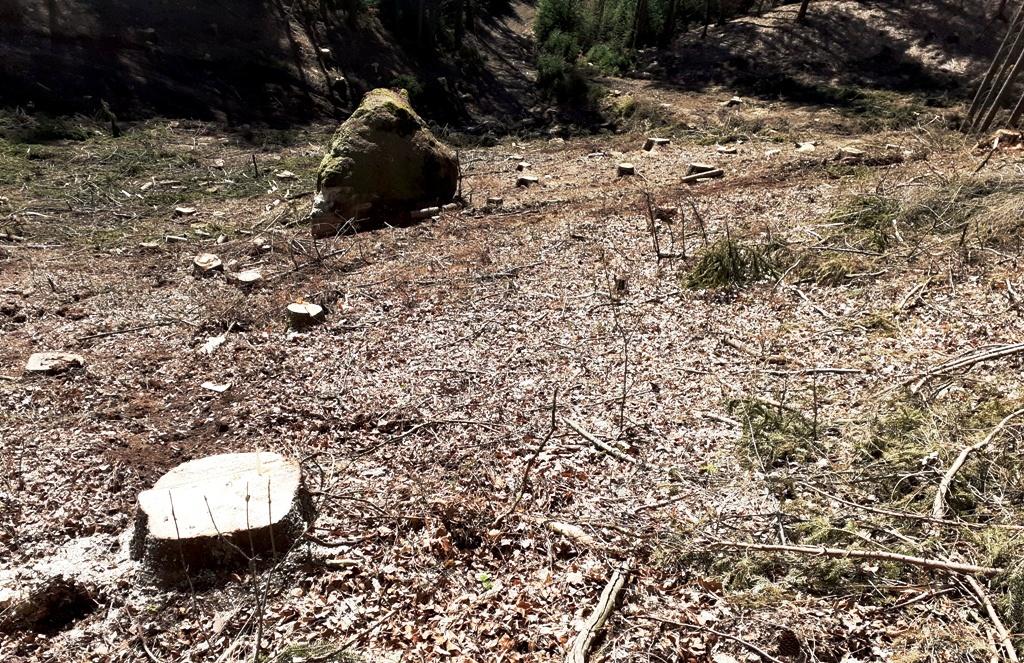 Štátni lesníci vlani vysadili 17 miliónov sadeníc, takmer polovicu tvoril jeden druh