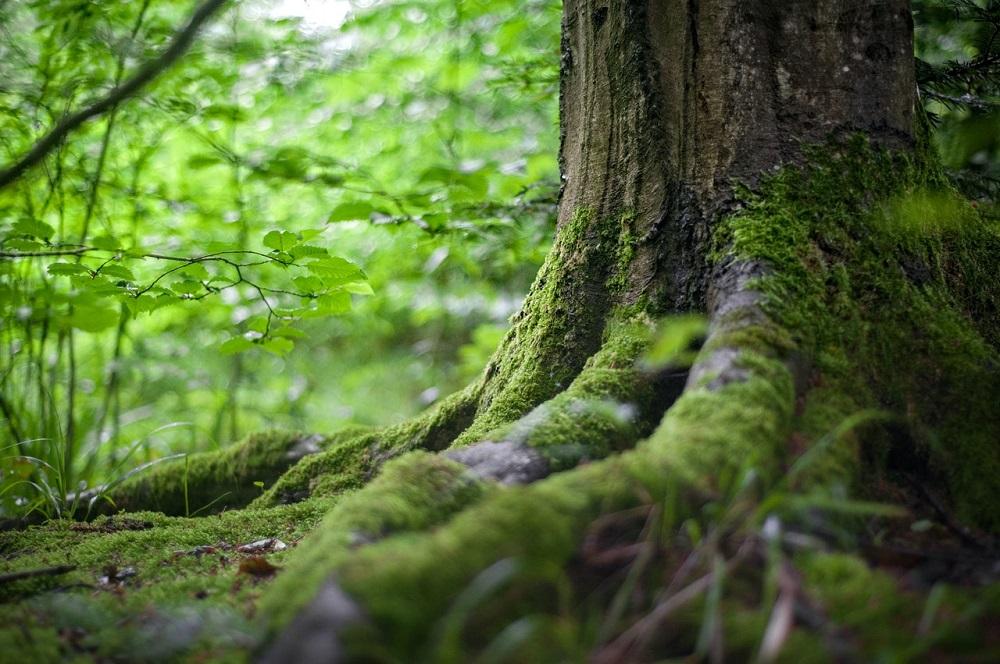 Na vyššiu koncentráciu CO2 reagujú stromy zrýchlením fotosyntézy, zistili vedci